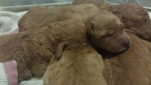 9 ADORABLE Golden Doodle puppies