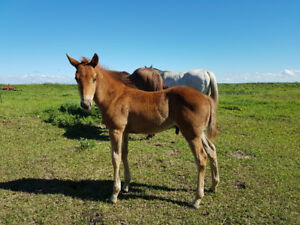 2017 Registered Foals for Sale!