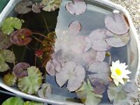 POND WATERLILY