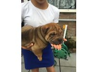 Beautiful kc registered Sharpei pups ready to go 1 boy 3girls