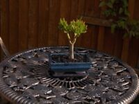 Make your own Topiary succulents