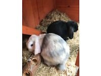 2 lop ear rabbits with all necessary equipment