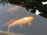 KOI CARP FISH for sale 4 big koi. Filtration system, pump & UV lamp.