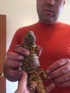No Bugs or Rodents! Tame Uromastyx Spiny Tailed Lizard for Sale