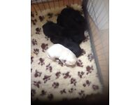 Gorgeous KC registered Labrador puppies
