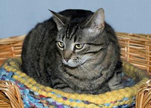 "Adult Female Cat - Tabby (Brown): ""Abby"""