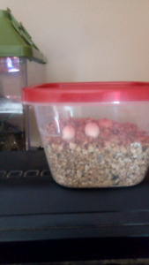 Selling crested gecko eggs 25$ eh