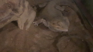 Bearded dragon with tank all accessories. Lamps feeder..