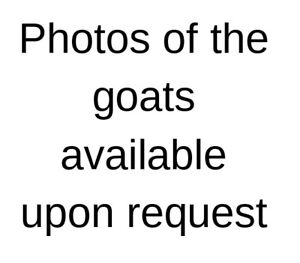 Registered Dairy Goats for Sale!