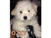 Maltese x bichon puppies for sale
