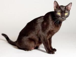 "Baby Female Cat - Domestic Short Hair (Black): ""Skye"""