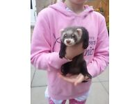 Ferrets / polecats for sale. 10 weeks old. Hobs & jills available.
