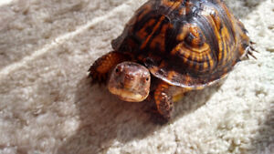 Two Box Turtles for Sale