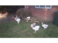 LAYING LIGHT SUSSEX HENS