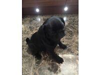 Beautiful female all black pug puppy fully inoculated