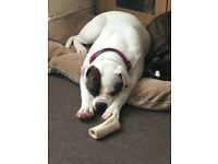 Old Tyme Bulldog Needs Loving Home