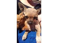 Chihuahua puppies 12 weeks old