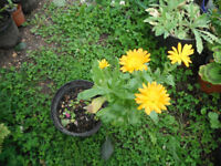 Plant for sale-A calendula plant in a 16 cm pot