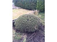 Buxus/bush