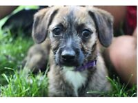Jack Russell x Toy Poodle, 5 month old puppy female