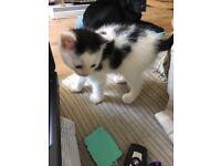 Lovely playful Kittens for sale