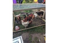 Chicks, hens and cockerels for sale