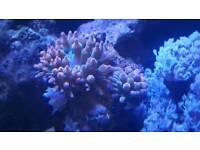 Marine Tropical Coral
