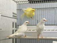QUALITY Dutch frill Canaries For Sale