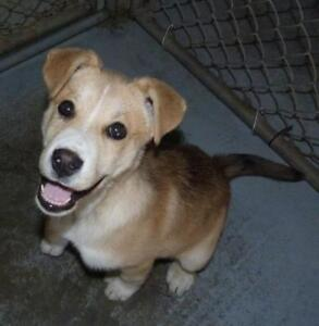 "Baby Female Dog - Husky-Mixed Breed: ""Carly - PENDING ADOPTION"""