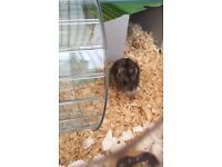 Adorable dwarf hamster for sale