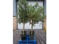 Olive trees (8-9ft tall)