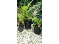 3 potted garden ferns