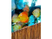 Top quality discus fish gor sale