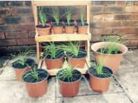 Home-Grown Chive Plants