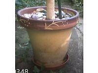 Weeping fig tree /large plant in oriental pot beautiful houseplant or in garden
