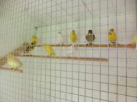 16 CANARIES AND AVIARY.
