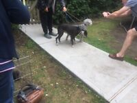Bedlington X Whippet boy pups