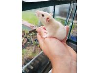 Male & female rats for sale