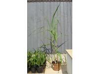 MISCANTHUS FLORIDULUS GRASSES