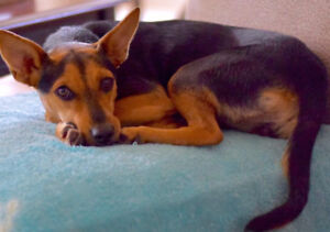 female terrier mix 1 year old for adoption.