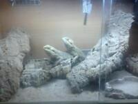 A male and female bearded dragon s including full setup