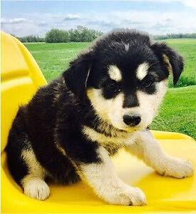 Cute Labrador Husky Cross!!!