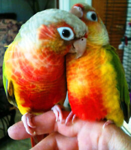 ❤★❤Baby Conures Available with Cage❤★❤