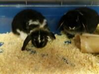 Lop Eared Dwarf Rabbits
