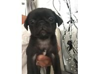 Rare Miniature Dollyrichie PUG puppies ready now