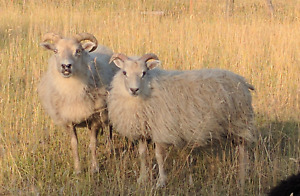 Unregistered Icelandic Ewe Lambs