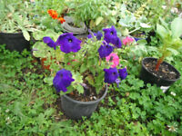Plant for sale-A petunia plant in a 16 cm pot