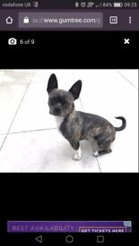 Half chihuahua half boston terrier