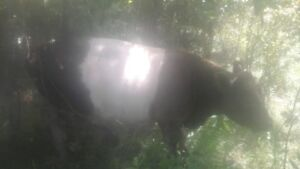 Belted gallaway bull cow