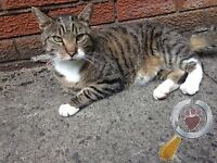 Tabby Cat Found